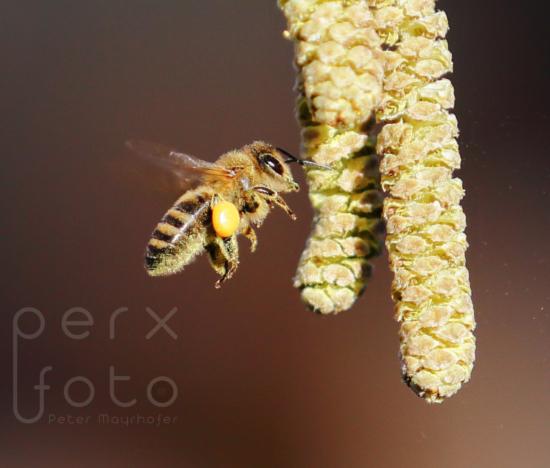 Honigbiene an der Haselnuss