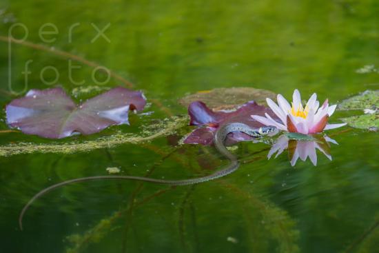 Ringelnatter im Teich