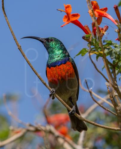 Nektarvogel, Drakensberge, Südafrika
